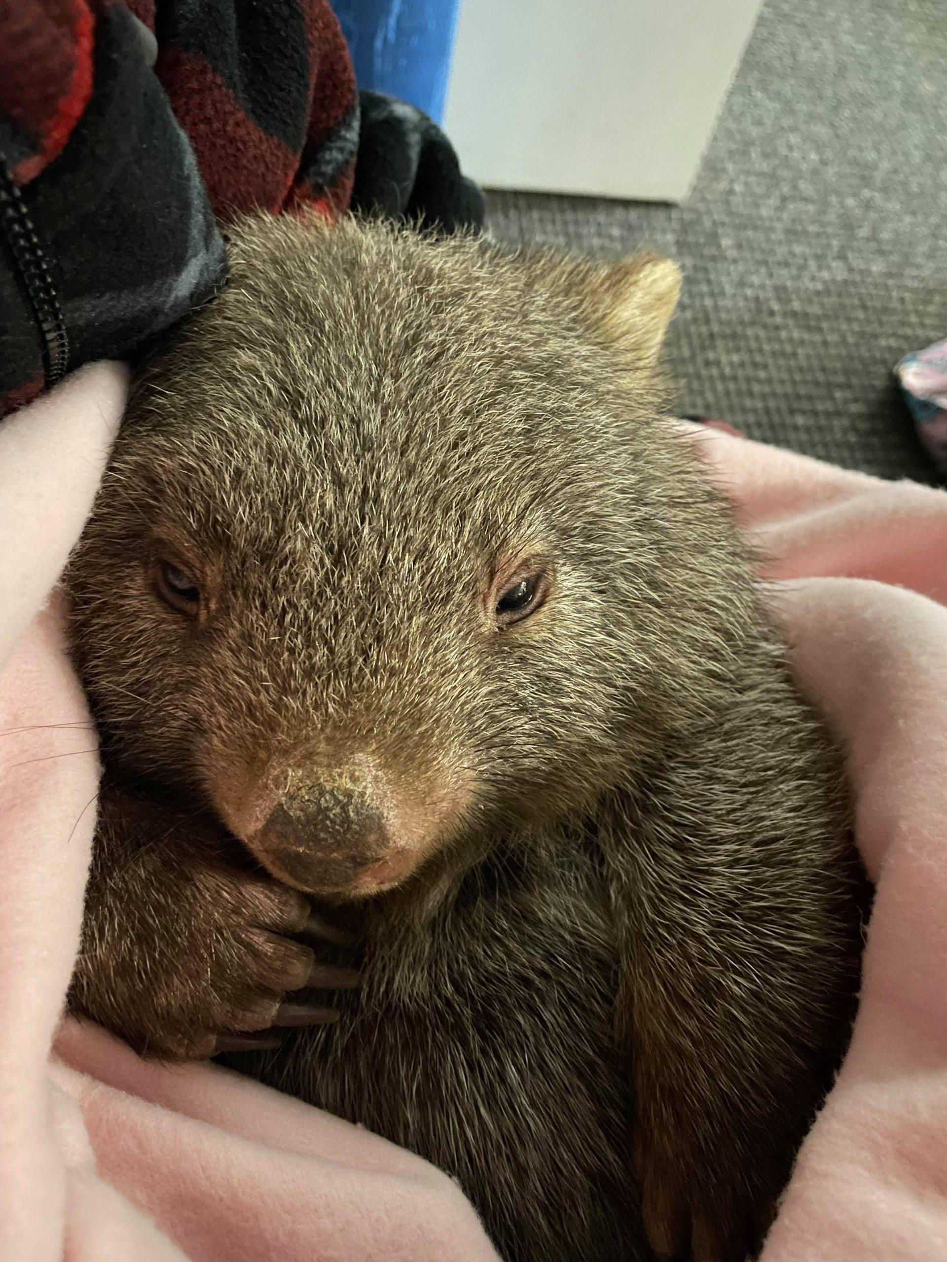 Baz the baby wombat