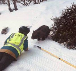 Wombat ski rescue