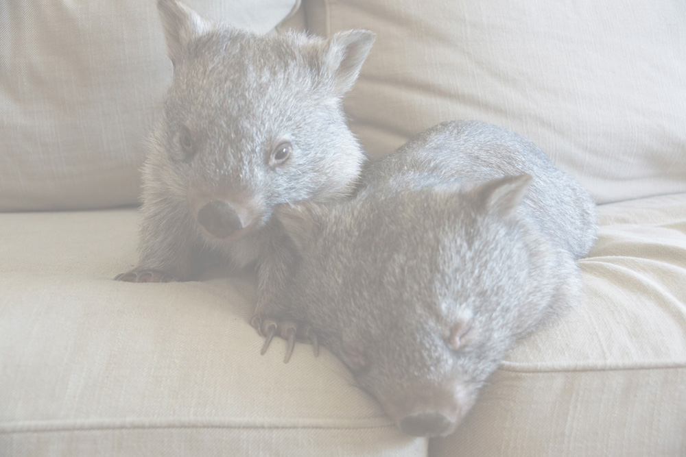 wombats-50pc